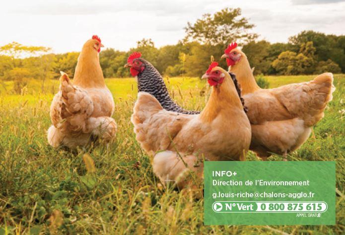 Des poules pour limiter les déchets